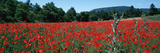 Red Poppies Flowers in a Field  Provence-Alpes-Cote D'Azur  France