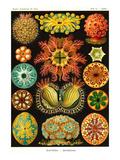 Ascidiae Reproduction d'art par Ernst Haeckel