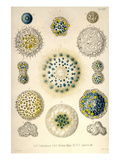 Amoeboid Protozoans