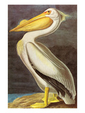 White Pelican