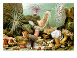 Sea Anemones