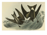 Leach's Petrel - Forked Tail Petrel