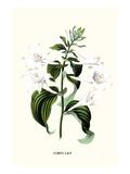 Corfu Lily
