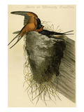 Barn or Chimney Swallow