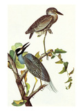 Yellow Crowned Night Heron and Little Blue Heron