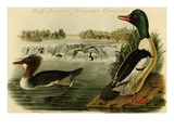 Buff-Breatsed Merganter Goosander