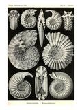 Ammonites Reproduction d'art par Ernst Haeckel