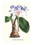 Amaryllis Hyacinthin