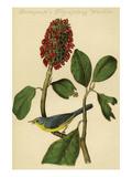 Bonaparte's Flycatching Warbler