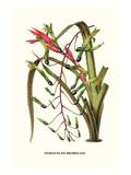 Venezuelan Bromeliad