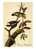 Downy Woodpecker Reproduction d'art par John James Audubon