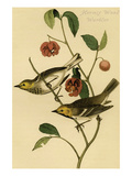 Hermit Wood Warbler