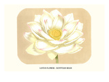 Lotus Flower - Egyptian Bean