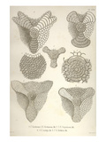 Collection of Euchitonia