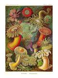 Actiniae Reproduction d'art par Ernst Haeckel