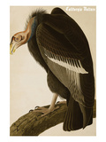 California Vulture