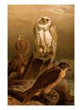 Arctic Falcon
