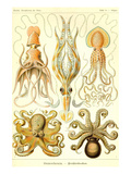 Cephlopods Reproduction d'art par Ernst Haeckel