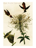 Rough Throated Hummingbird