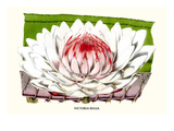 Lotus Flower - Water Lily