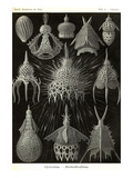 Radiolaria