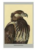 African Sea Eagle