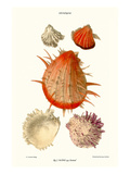 Thorny Oyster Shell