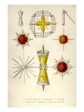 Lithoptera Mulleri  Astrolithium  A Dicopum  A Bifidum  A Cruciatum  Diploconus Fasces