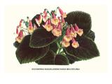 Eucodonia Multiflora