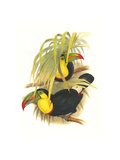 Rainbow or Keel Billed Toucan