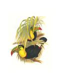 Rainbow or Keel Billed Toucan