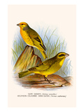 Cape Canary and Sulpher-Colored Seed Eater