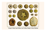 Gorgon's Head  Sand Dollars  Sea Urchins  Hatpin Urchin  Diadems