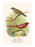 Sydney Waxbill and Australian Fire Finch