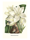 Crinum Giganteum - Medicinal