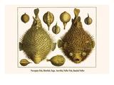 Porcupine Fish  Blowfish  Fugu  Burrfish  Puffer Fish  Banded Puffer