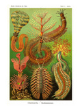 Vers Reproduction d'art par Ernst Haeckel