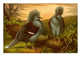 Crowned Pigeons
