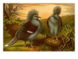 Crowned Pigeons