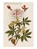 Ruff-Necked Humming-Bird
