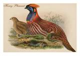 Horny Pheasant