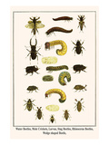 Water Beetles  Mole Crickets  Larvae  Stag Beetles  Rhinoceras Beetles  Wedge Shaped Beetle