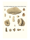 Fossil Shells Including Snail  Oyster  Tail of a Fish and Teredo