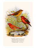 Common Amaduvade and African Fire Finch