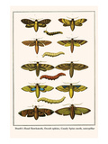 Death's Head Hawkmoth  Occult Sphinx  Guady Spinx Moth  Caterpillar