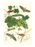 Grapevine with Vine Sphinx
