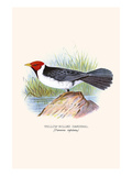 Yellow Billed Cardinal  Brown Throated or Lesser Cardinal