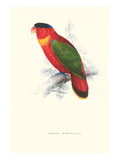 Black-Ccapped Lory - Lorius Domicella