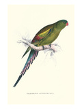 Black Tailed Parakeet(Female) - Polypelis Anthopeplus