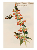 Rufous-Crested Coquette Hummingbird